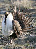 Landmark Agreements to Conserve up to 2.3 Million Acres of Sage Grouse Habitat in Oregon