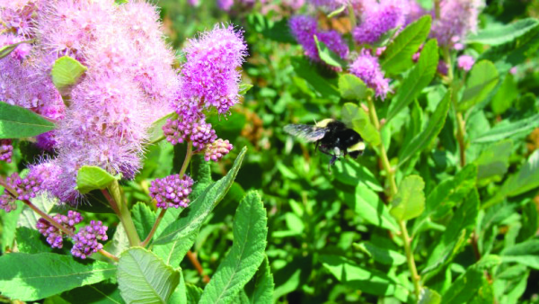 ODA Offers Advice on Plants, Pesticides, and Pollinators